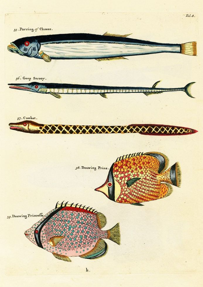 Renard, Louis: Illustrations of Marine Life Found in Moluccas (Indonesia). Art Print/Poster (4974)